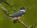 Female Belted Kingfisher with Prey in its Cavity (Ceryle Alcyon)  Eastern USA