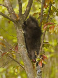 Common Porcupine in a Tree  Erethizon Dorsatum  North America