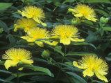 St John's-Wort Flowers  Hypericum Perforatum  North America