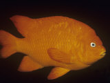 Garibaldi (Hypsypops Rubicundus)  California  USA