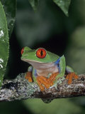 Red-Eyed Treefrog (Agalychnis Callidryas)  Central America