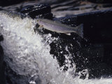 Steelhead Rainbow Trout Leaping Falls  Oncorhynchus Mykiss  North America