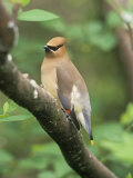 Cedar Waxwing  Bombycilla Cedorum  North America