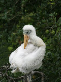Wood Stork Chick  Mycteria Americana   Florida  USA