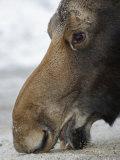 Close Up of a Moose Licking at a Salt Lick (Alces Alces)  North America