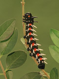 Common Emperor Moth Larva or Caterpillar (Bunaea Alcinoe)  Family Saturniidae  South Africa