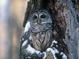 Barred Owl (Strix Varia) in a Hollow of a Maple Tree (Acer) North America