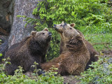 Brown Bears  Ursus Arctos  Bavarian Forest National Park  Germany  Europe