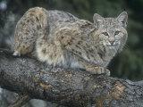 Bobcat  Lynx Rufus  North America