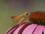 Broken Dash Skipper on Coneflower  Wallengrenia Otho  Echinacea Purpurea