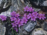 Scamman's Spring Beauty (Claytonia Scammaniana) in the High Alpine Tundra of Alaska  USA