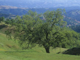 Oak Woodland  Quercus  and Grassland in the Coast Ranges of California  USA