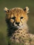 Cheetah Cub  Acinonyx Jubatus  Masai Mara Game Reserve  Kenya