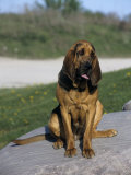 Bloodhound Breed of Domestic Dog
