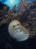 Chambered Nautilus (Nautilus Pompilius) and Soft Coral  Indonesia