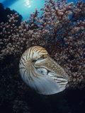 Chambered Nautilus (Nautilus Pompilius) and Soft Coral  Indonesia