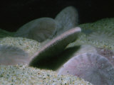 Sand Dollars  Dendraster Excentricus  Showing Tube Feet  Alaska to Baja California  USA