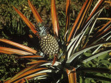 Pineapple Developing  Ananas Comosus
