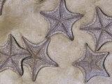 Fossil Sea Stars (Crateraster Mccarteri)  85 MYA  Texas  USA