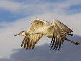 Sandhill Crane in Flight  Grus Canadensis  North America