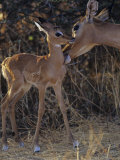Impala Mother Grooming Her Young  Aepyceros Melampus  Samburu  Kenya  Africa