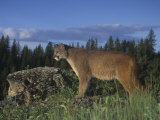 Mountain Lion  Cougar  or Puma  Felis Concolor  Western North America