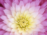 Close Up of a Dahlia Hybrid Flower  Gay Princess Variety