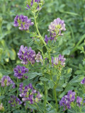 Alfalfa in Bloom  Medicago Sativa  North America