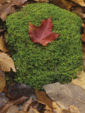 Mossy Rock on the Forest Floor with a Fall Sugar Maple Leaf on Top  North America