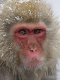 Snow Monkey (Macaca Fuscata)  Jigokudani Reserve  Japanese Alps Hot Springs  Japan