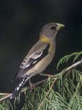 Female Evening Grosbeak  Coccothraustes Vespertinus  Eastern North America