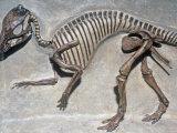 Good Mother Dinosaur Skeleton (Maiasaura Peeblesorum)  Cretaceous Period  75 MYA  Montana  USA