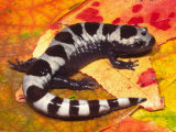 Marbled Salamander (Ambystoma Opacum)  Eastern North America