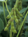 Soybeans on the Plant