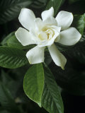 Gardenia or Cape Jasmine Flower (Gardenia Jasminoides)