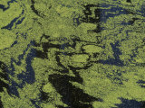 Duckweed (Lemna Minor) on a Pond Surface  North America