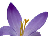 Crocus Flower Parts