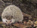 African Hedgehog  Atelerix Albiventris  East Africa