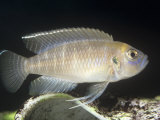 Snail Dweller Cichlid (Lamprologus Brevis) Nests in Empty Snail Shells  Lake Tanganyika  Africa