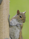 Gray Squirrel (Sciurus Carolinensis) at a Bird Feeder