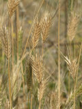 Ripe Wall Barley