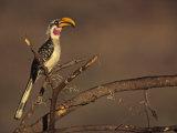 Yellow-Billed Hornbill  Tockus Flavirostris  Samburu  Kenya  Africa