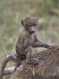 Bably Olive Baboon Riding on Mothers Back  Papio Anubis  Lake Nakuru National Park  Kenya