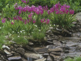 Parry Primrose  Primula Parryi  Rocky Mountains  North America