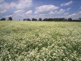 Large Field of Daisy Fleabane  Erigeron Philadelphicus  Near Lexington  Kentucky  USA