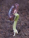 Snap Bean Seed Germinating