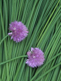 Chive Stems and Flowers (Allium Schoenoprasum)