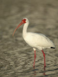 White Ibis  Eudocimus Albus  Southern USA
