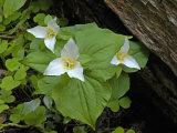 Pacific Trillium (Trillium Ovatum)  Oregon  USA