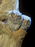 Eastern Screech Owl Young or Owlets in a Tree Hollow (Otus Asio)  Eastern North America